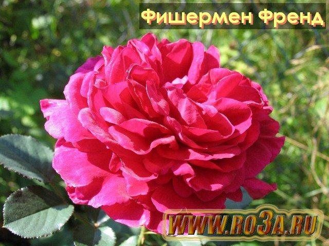 роза фото и описание фишерман френд