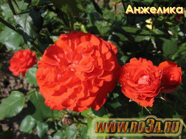 Роза анжелика фото и описание