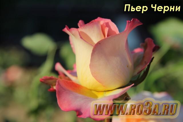 Лучшая белая роза