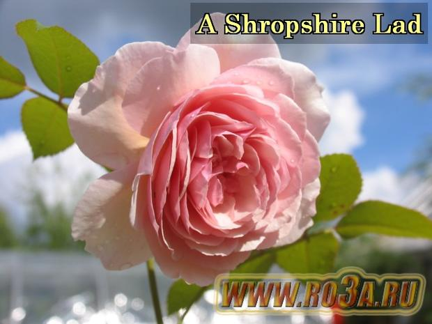 Роза A Shropshire Lad А Шропшиэ Лэд