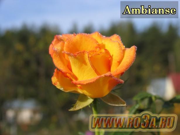Роза Ambianse Амбьянс