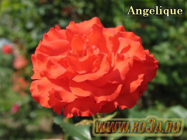 Роза Angelique Анжелика