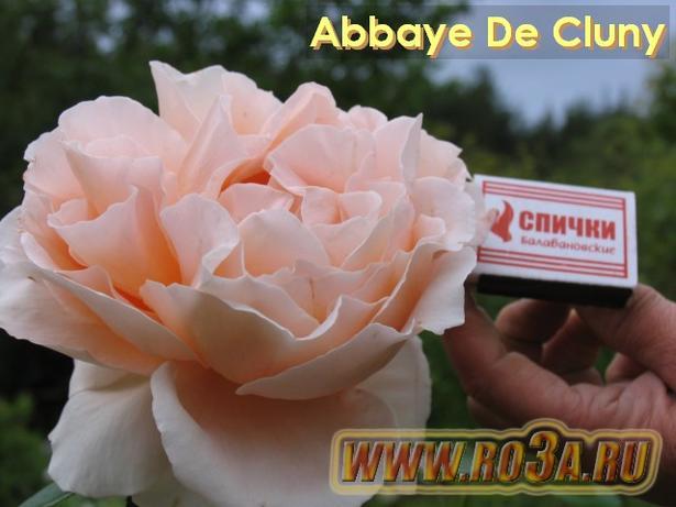 Роза Abbaye De Cluny Аббатство Клюни