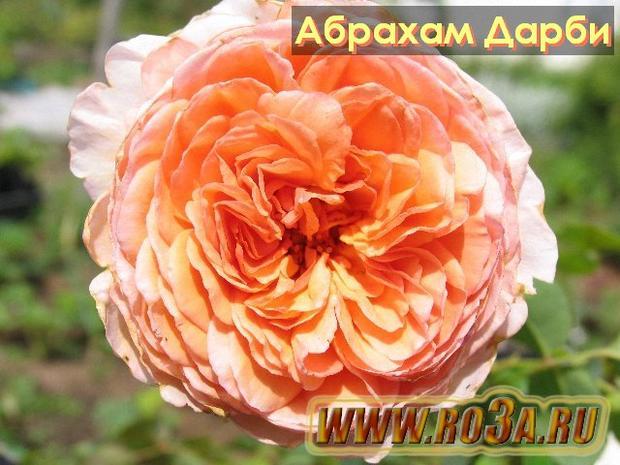 Роза Abraham Darby Абрахам Дарби