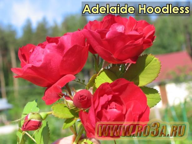 Роза Adelaide Hoodless Аделаида Худлесс