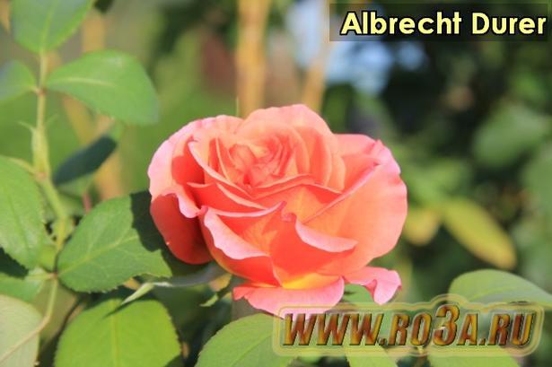 Роза Albrecht Durer Альбрехт Дюрер