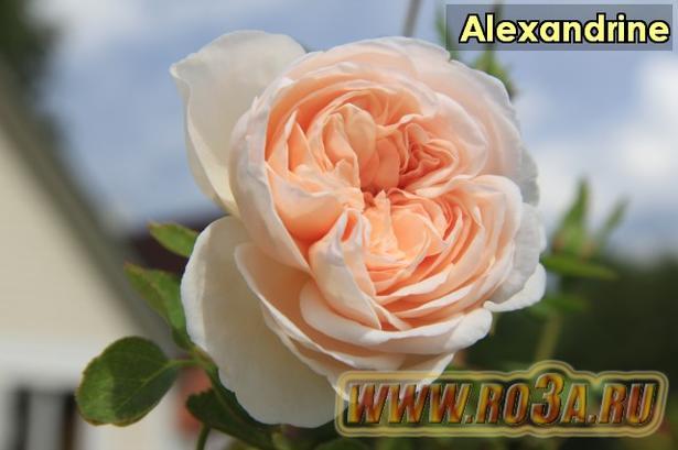 Роза Alexandrine Александрин Belle Romantica