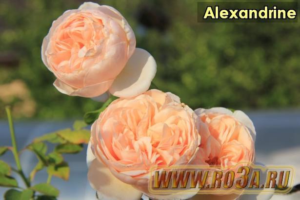 Роза Alexandrine Александрин