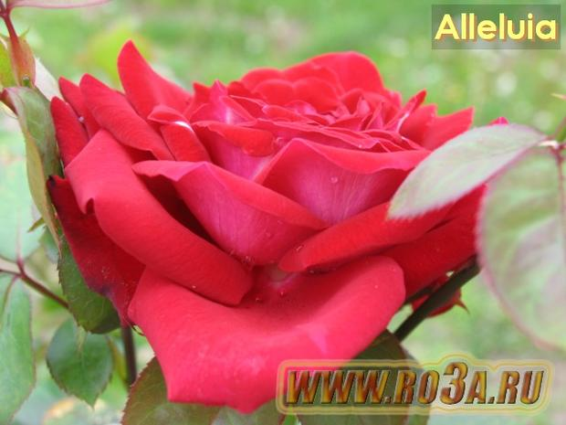 Роза Alleluia Аллелуя