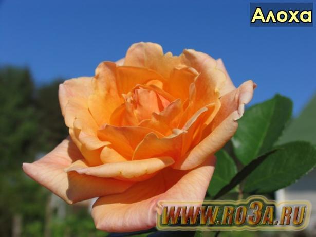 Роза Aloha Алоха