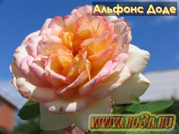 Роза Alphonse Daudet Альфонс Доде