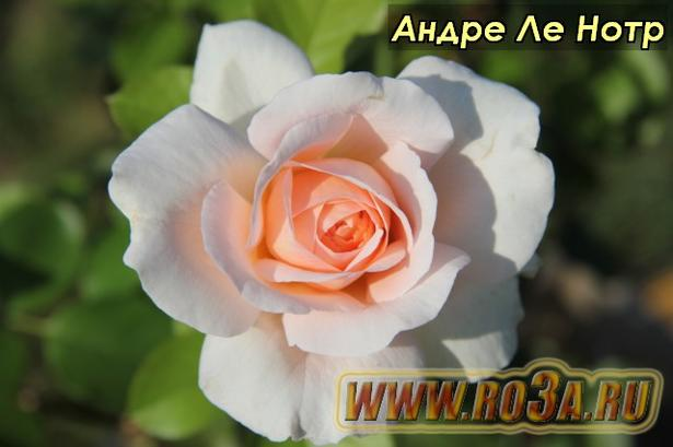 Роза Andre Le Notre Андре Ле Нотр