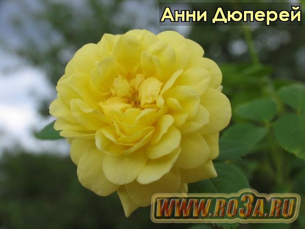 Роза Anny Duperey Анни Дюперей