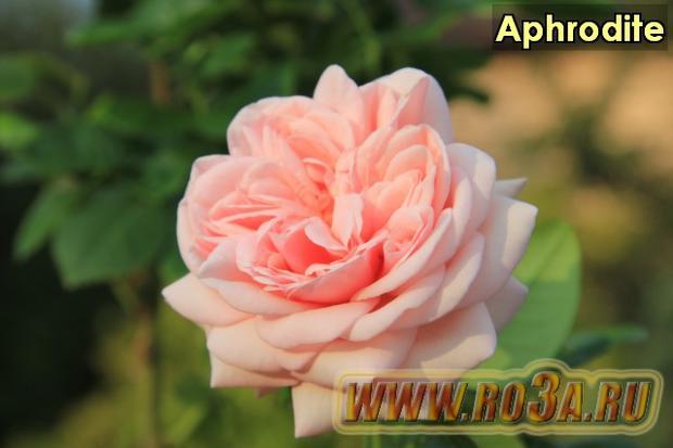 Роза Aphrodite Афродита