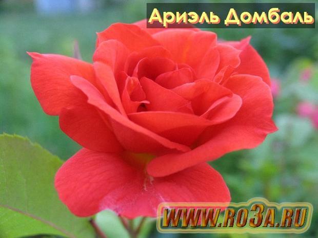 Роза Arielle Dombasle Ариэль Домбаль