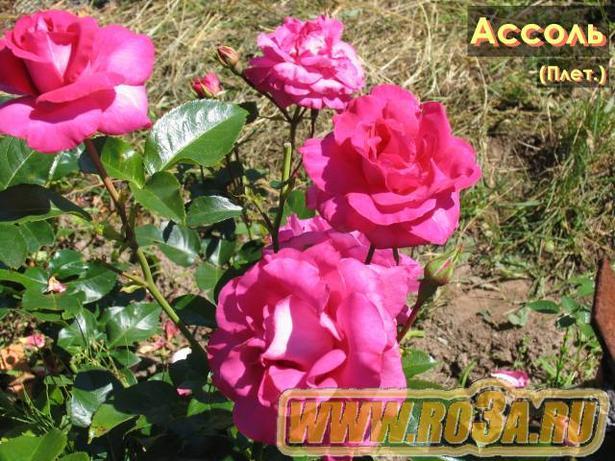 Роза Assol Ассоль