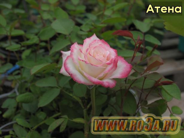 Роза Athena Атена