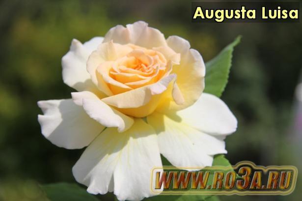 Роза Augusta Luisa Августа Луиза