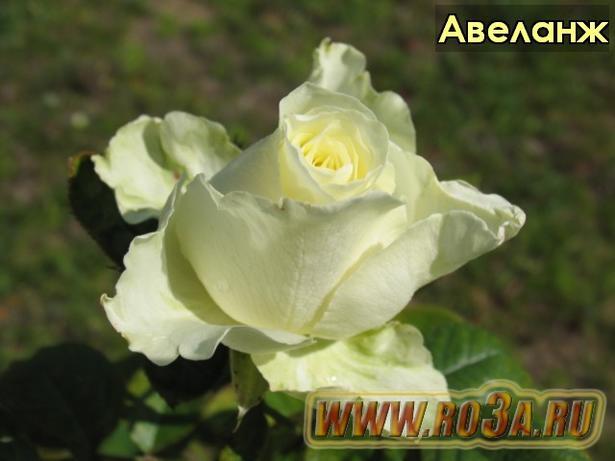 Роза Avelange Авеланж