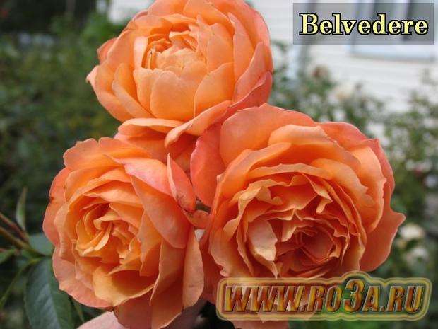 Роза Belvedere Белведер (Полуплетистая)