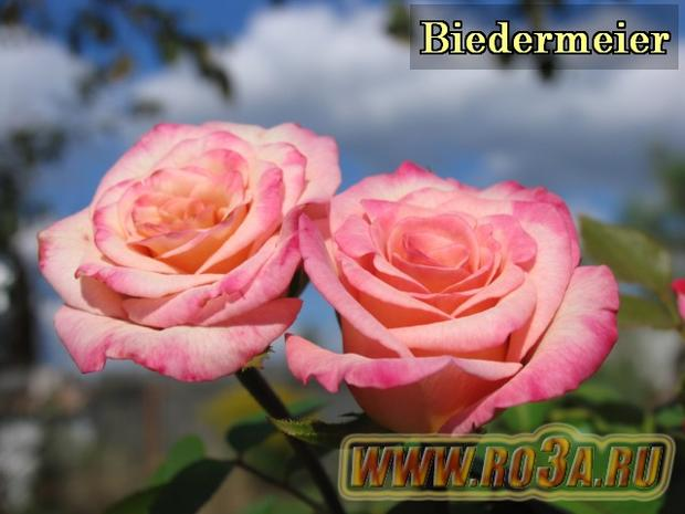 Роза Biedermeier Бидермайер