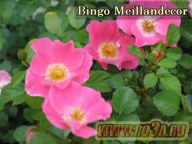 Роза Bingo Meillandecor Бинго Мейяндекор