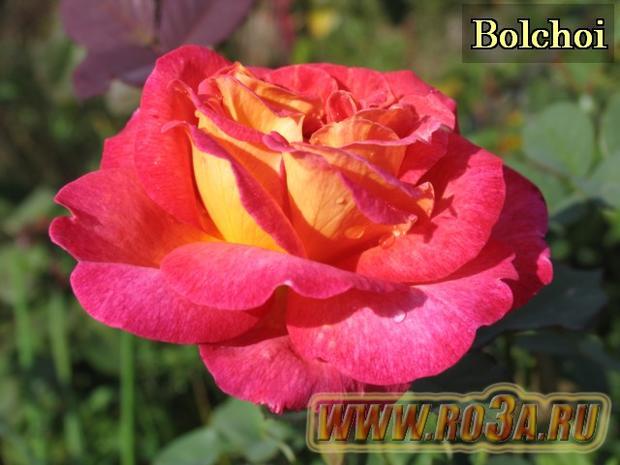 Роза Bolchoi Большой Театр
