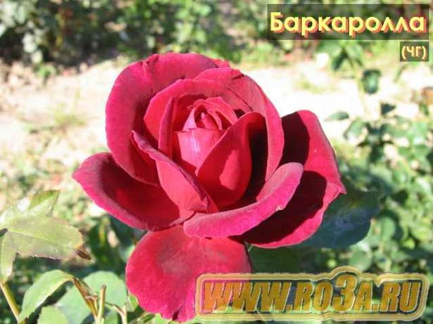 Роза Barkarole Баркаролла