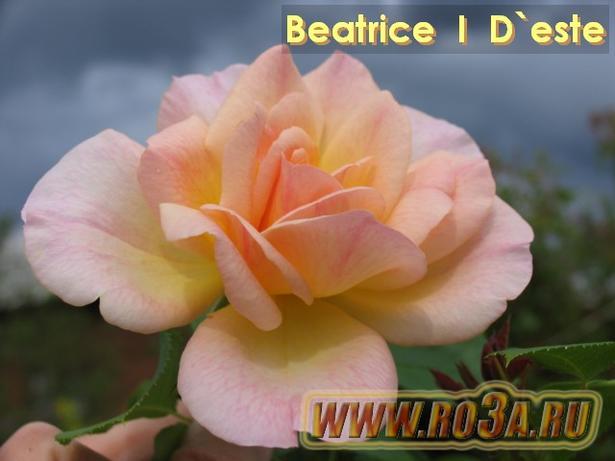 Роза Beatrice I D′ este Беатрис И Д′ эсте