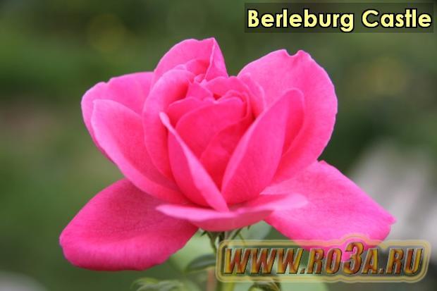 Роза Berleburg Castle Берлебург Кастл