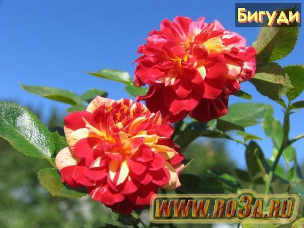 Роза Bigoudi Бигуди