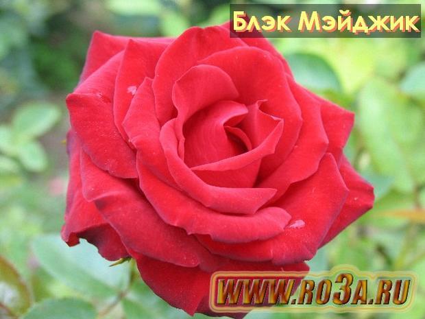 Роза Black Magic Блэк Мэйджик