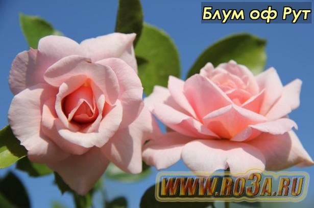 Роза Bloom of Ruth Блум оф Рут