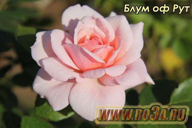 Роза Bloom of Ruth Блум оф Рут