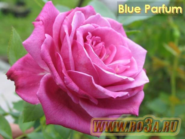 Роза Blue Parfum Блю парфюм