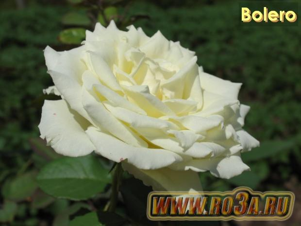 Роза Bolero Болеро