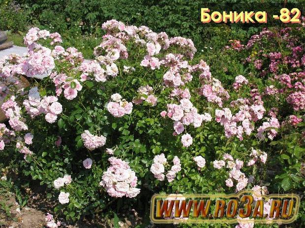 Роза Bonica 82 Боника -82