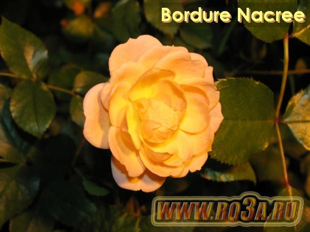 Роза Bordure Nacree Бордюр Накри