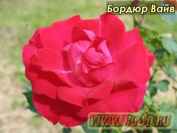 Роза Bordure Vive Бордюр Вайв