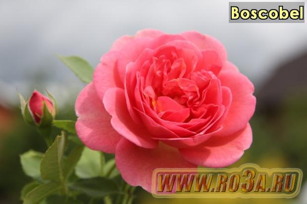 Роза Boscobel Боскобел