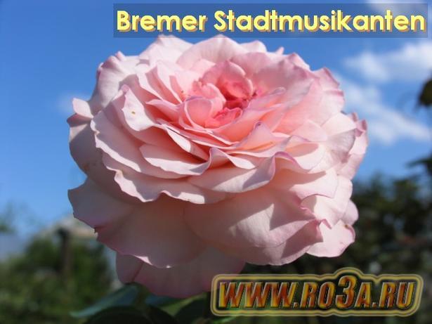 Роза Bremer Stadtmusikanten Бременские Музыканты