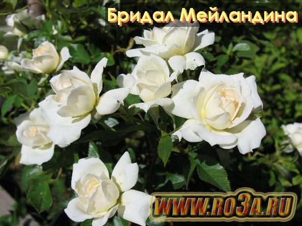 Роза Bridal Meillandina Бридал Мейландина