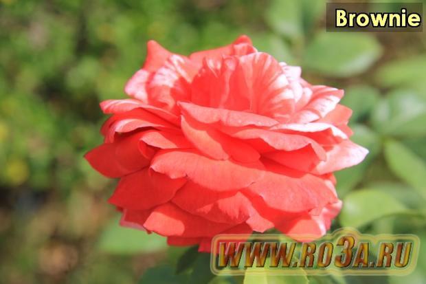 Роза Brownie Броуни