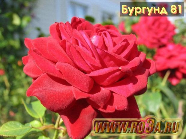 Роза Burgund 81 Бургунд 81
