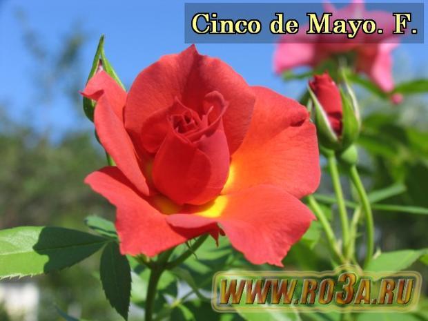 Роза Cinco de Mayo Чинко де Мао