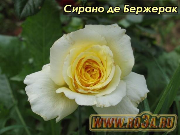 Роза Cyrano de Bergerac Сирано де Бержерак