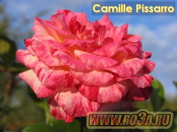 Роза Camille Pissarro Камилл Писсарро