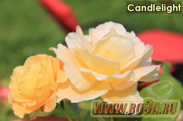 Роза Candlelight Кандлелайт