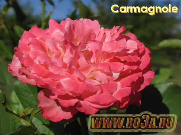 Роза Carmagnole Кармагноли