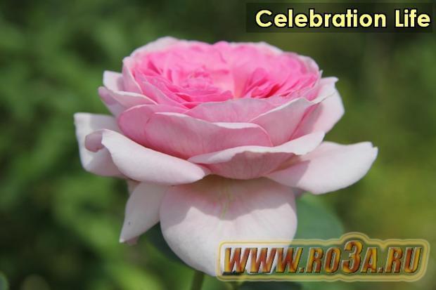 Роза Celebration Life Селебрейшн Лайф